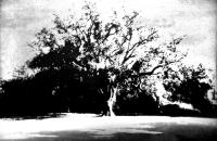 The Cork Oak at Antony  by Norman Ackroyd CBE, RA, ARCA, RE, MA